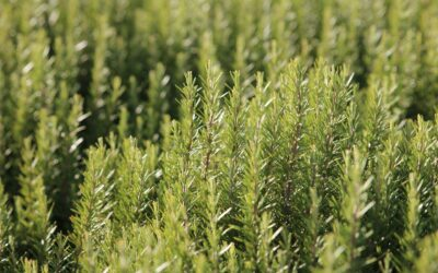 A formula with rosemary extract fights colon cancer